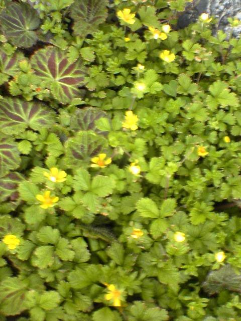 露地の花04