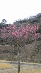 奥野ダムの紅梅が咲いています。