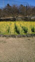 さくらの里ではもう「菜の花」が満開です